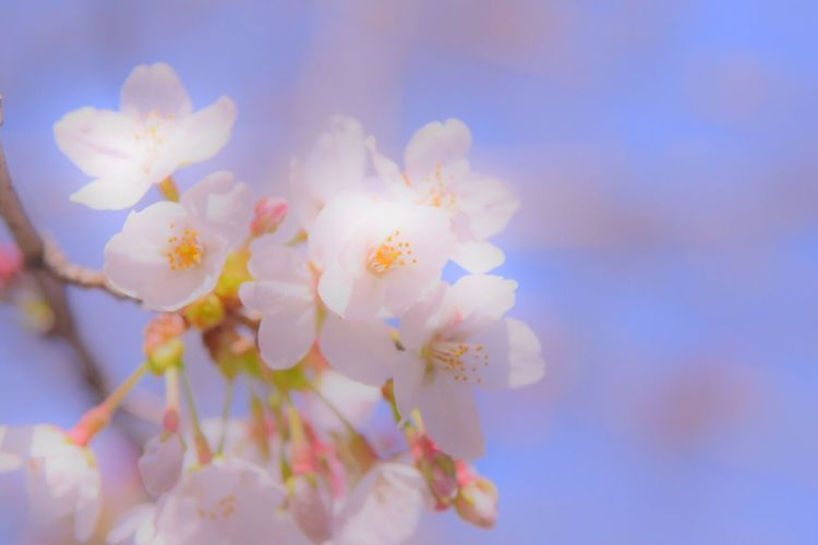 Cherry Blossoms 桜 Snapshots Spring Flowers Colors Japan Flower Collection Flowers Snapshot Nature Photography