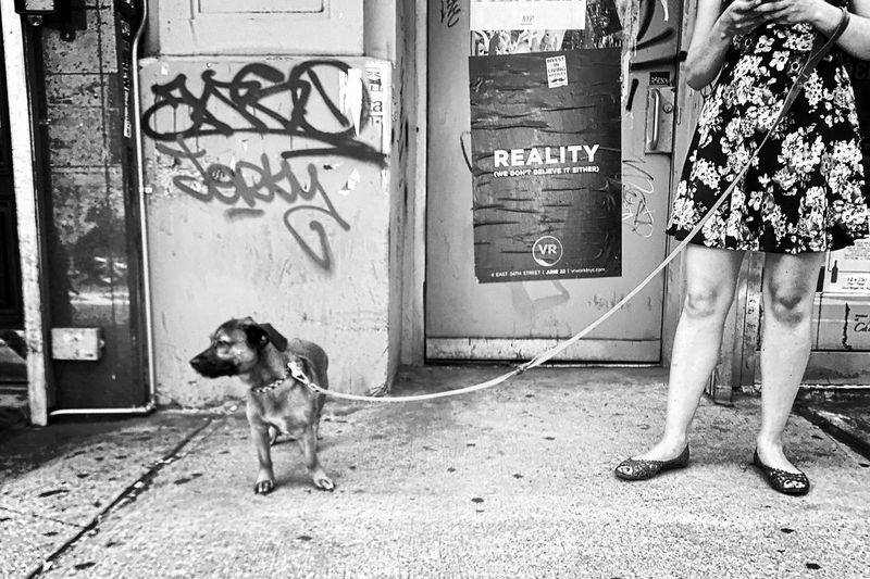 Soho 2017 | divided attention Dog Pets One Animal Domestic Animals Mammal Owner City Manhattan Black And White Streetphotography