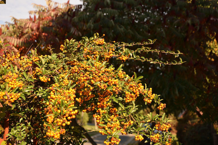 Cotoneaster and fruit, Cotoneaster Autumn Cotoneaster Berries Beauty In Nature Close-up Cotoneaster Cotoneaster Tree Day Flower Focus On Foreground Fragility Freshness Friut Friuts Leaf Nature No People Orange Color Outdoors Plant Plant Part Selective Focus Tranquility Vulnerability  Yellow