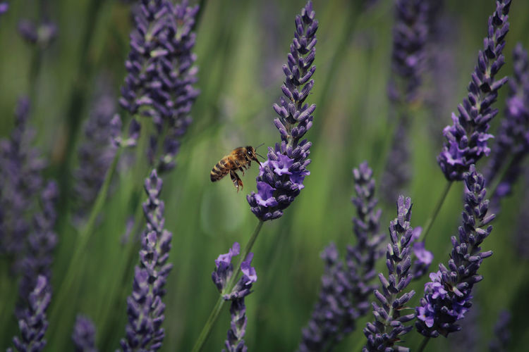 EyeEm Best Shots Wildlife & Nature Animals In The Wild Working In The Garden Flower Bee Insect Purple Pollination Perching Lavender Close-up Animal Themes Lavender Colored Buzzing Symbiotic Relationship Honey Bee Flower Head Pollen