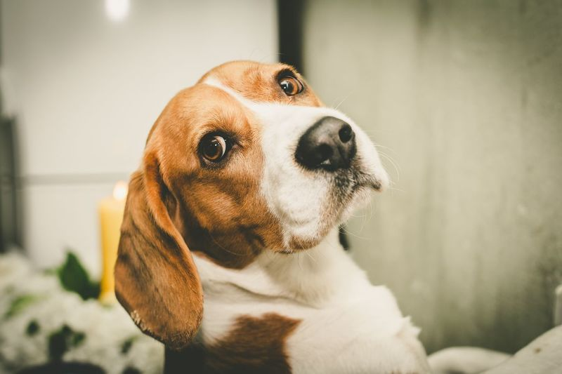 Dog Pets One Animal Animal Themes Domestic Animals Close-up No People Indoors  Portrait Beagle Day Nature Pet Portraits