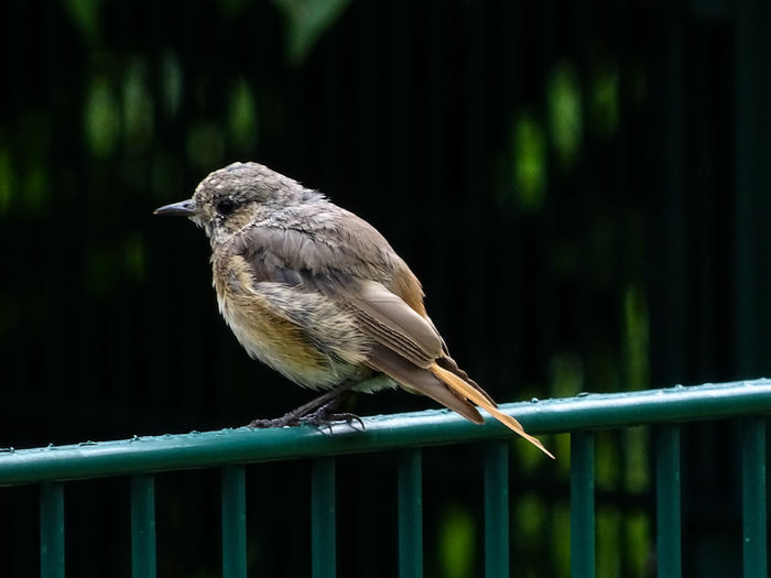 Animal Themes Animal Wildlife Animals In The Wild Bird Black Redtail Nature Railing Young Bird Young Black Redtail