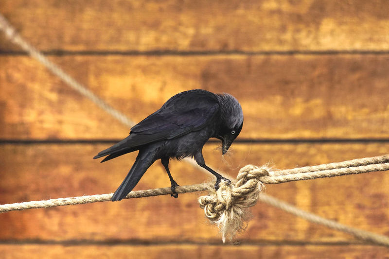 Jackdaw on a Rope Animal Themes Animal One Animal Animal Wildlife Bird Animals In The Wild Vertebrate No People Perching Black Color Focus On Foreground Wood - Material Day Nature Outdoors Close-up Zoology Sunlight Full Length Selective Focus Bird Photography Jackdaw Jackdaw Bird Rope Knot Plucking Picking Crow