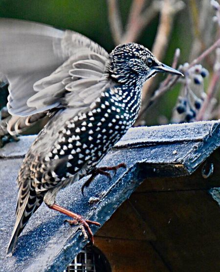 Star, mit Starallüren 😉🎉✨ Animal Animal Themes Animal Wildlife Animals In The Wild Vertebrate Bird Spotted Focus On Foreground No People One Animal Perching Close-up Outdoors Black Color Starling Water Day Animal Markings Nature