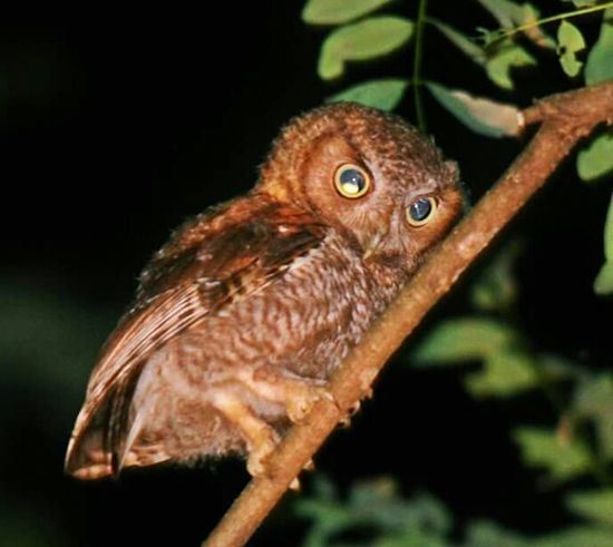 Screech Owl That's Me Birds Eye View Bird Watching Taking Photos Beauty In Nature