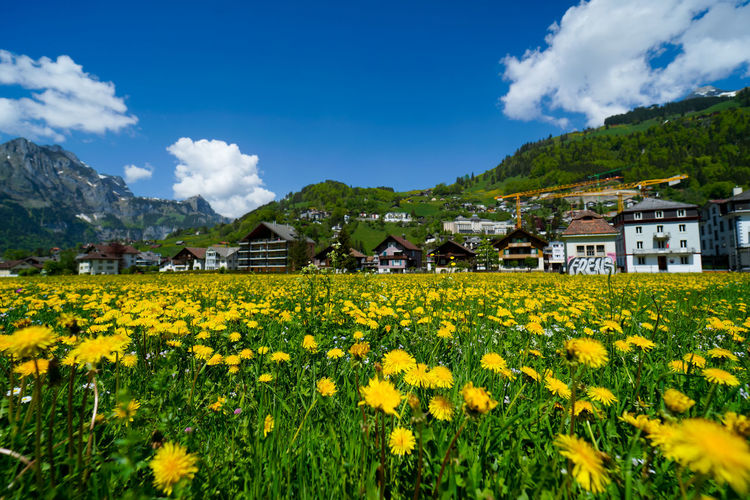 beautiful engelberg town and village Field Flowers Mount Titlis Switzerland🇨🇭 Vacations Alps Architecture Beauty In Nature Building Building Exterior Built Structure Cloud - Sky Engelberg Environment Field Flower Flowering Plant Growth House Land Landscape Lavender Mountain Nature No People Outdoors Plant Rejuvenation River Rotary Scenics Scenics - Nature Sky Snow Sunny Day Travel Destinations Truebsee Yellow