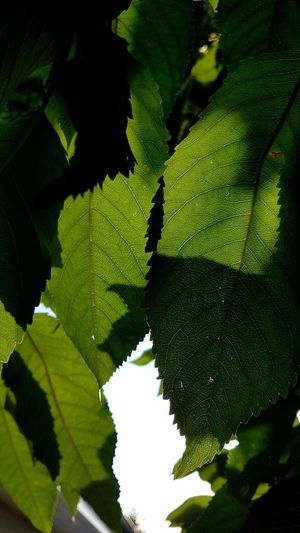 Cherry Leaves in the Sun Cherry Leaf Outdoors Outdoor Photography Garden Photography Backlight Backlight And Shadows Green Color Tree Leaf Close-up Green Color