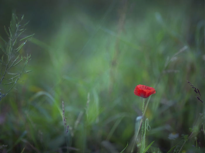 Close-up of poppy in grass