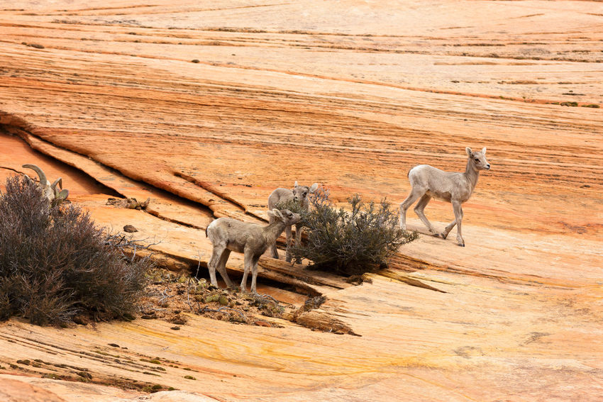 baby bighorn lambs, so cute! Animal Themes Animal Wildlife Bighorn Lamb Desert Bighorn Sheep Bighorn Sheep Lamb Canyon Desert Zion National Park Southern Utah  Utah Parks And Recreation Nature Outdoors Baby Animals No People Sandstone