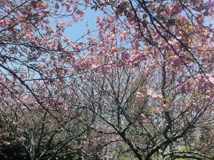 To blossom! Nature Beauty In Nature Blossom Blossoms  Branch Cherry Blossom Cherry Tree Day Flower Flowering Plant Fragility Freshness Growth Low Angle View Nature No People Outdoors Pink Color Plant Sky Spring Springtime Tranquility Tree Tree Canopy  Visual Creativity