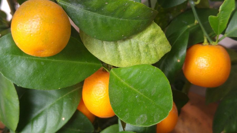 A bunch if calamondin. My parents love em`, dunno why. But they say it brings good luck. l home Lahad Datu Sabah Malaysia l 3rd August 2016 l 08:51:30 AM l Plant Fruit Calamondin