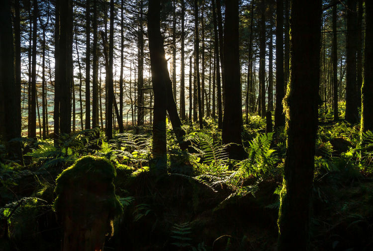 Tree Plant Forest Land Tree Trunk Trunk Growth Tranquility WoodLand Beauty In Nature Nature Scenics - Nature Tranquil Scene No People Day Sunlight Non-urban Scene Outdoors Environment Green Color Rainforest Isle Of Man Cringle Plantation