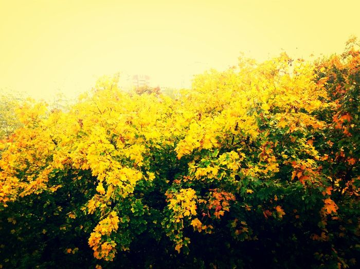 Leafs Tree Yellow Golden Вид из окна гимназии Golden autumn