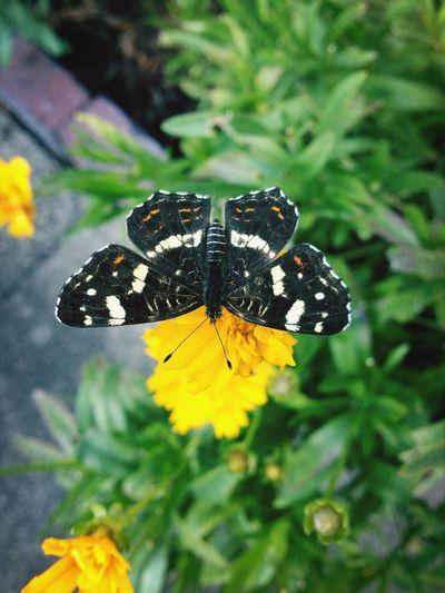Bremen Lesum Butterfly Schmetterling