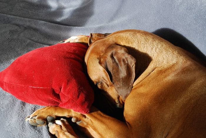 Dog takes a nap. Animal Themes Animals Bed Close-up Dog Domestic Animals Indoors  Napping Dogs No People One Animal Pets Relaxation Resting Rhodesian Ridgeback Sleeping Pet Portraits