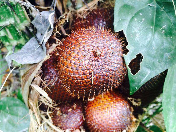 Petik Salak Bali asli di hutan heheheh :)