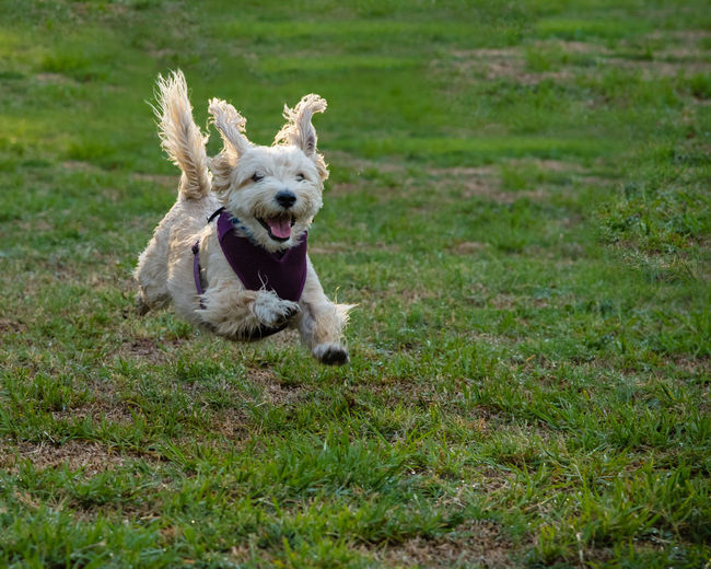 A terrier-mix joyfully flys through the air during a run on the grass. Action Animal Themes Can Day Dog Domestic Animals Energy Field Flying Free Full Length Grass Happy Harness Joy Law Lifestyles Mammal Nature No People One Animal Outdoors Pets Running Small First Eyeem Photo California Dreamin