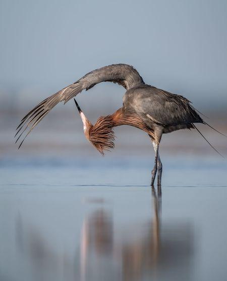 Reddish egret in lake against sky
