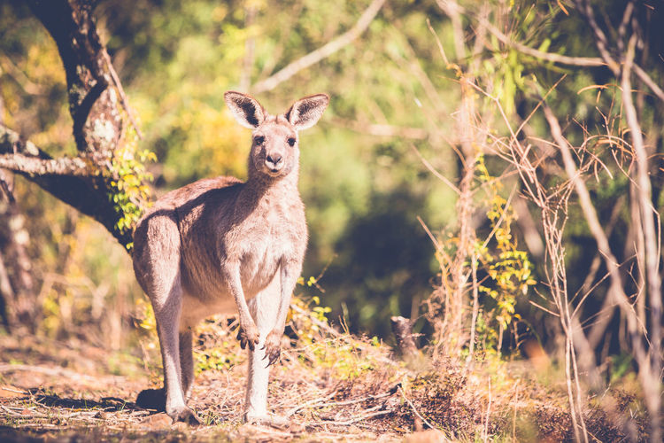 Portrait of kangaroo standing in forest