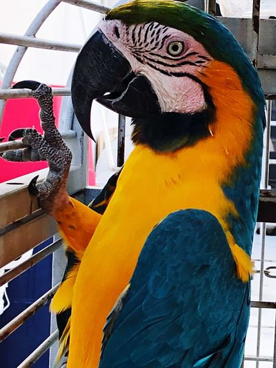Bird Macaw One Animal Parrot Gold And Blue Macaw Animal Themes Day No People Animals In The Wild Close-up Multi Colored Animal Wildlife Outdoors Beak Nature Perching Animals Free The Birds Animal Photography