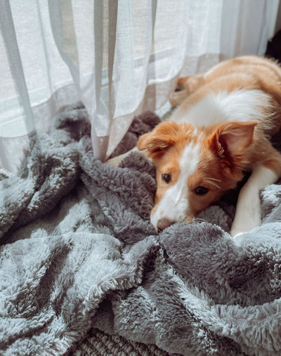 Portrait of dog relaxing on blanket at home