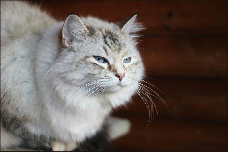 Cat Animals Cats Cute Katzen Cute Pets Katzencontent Lookingup Sibirian Maine Coon