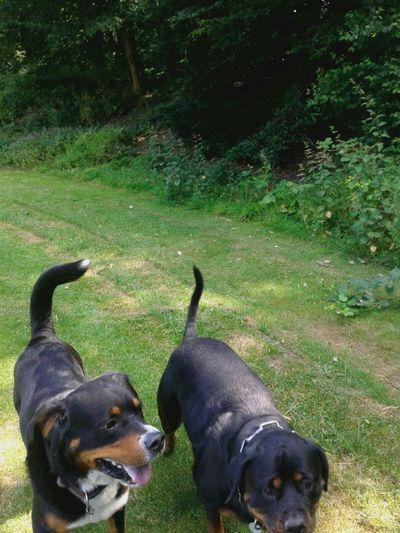 ♡Freya Mit Rocky♡ Hundeleben Play With The Animals Unterwegsunddraußen Freizeit Dogs Of EyeEm Rottweiler Bernersennenhund Dog❤ Hunderunde