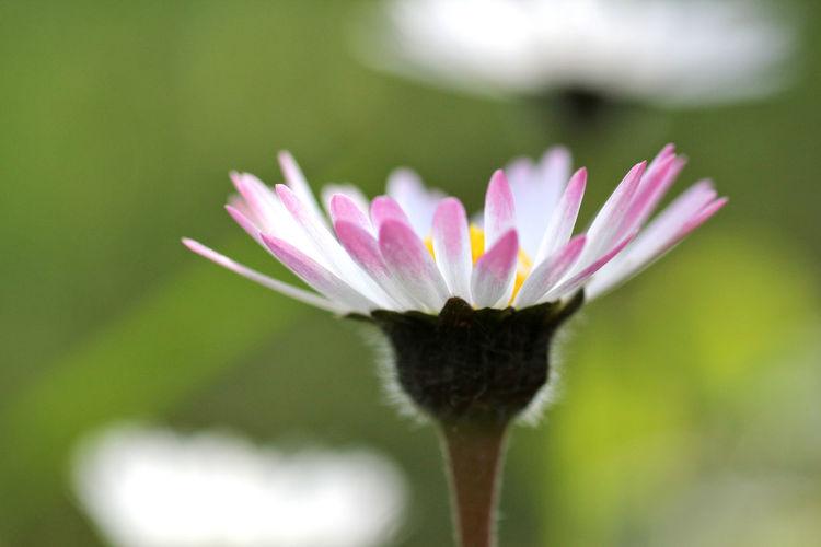 Daisy Flowering One Flower Spring Flowers