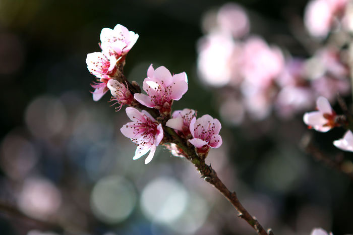 Cherry blossom Beauty In Nature Blooming Blossom Branch Close-up Day Flower Flower Head Focus On Foreground Fragility Freshness Growth Nature No People Outdoors Petal Pink Color Plum Blossom Springtime Tree Twig