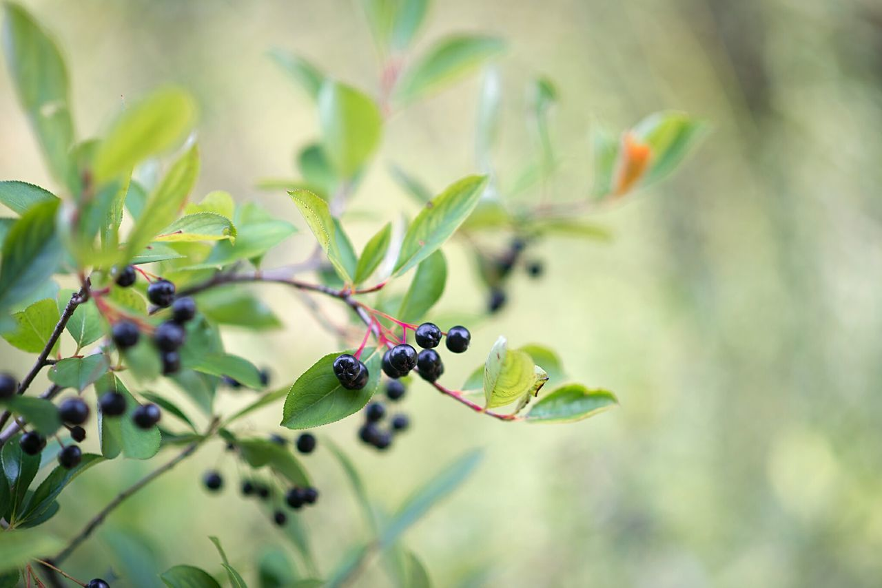 Close-Up Of Berry Plant