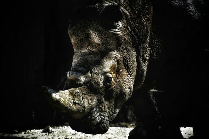 The Rhino Rhino Zoo Animal Wildlife Close-up Rhinoceros