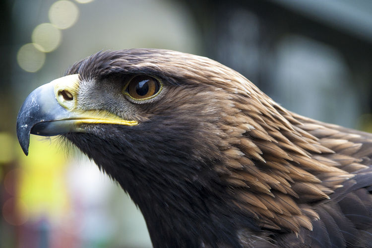 Close-Up Of Eagle Looking Away