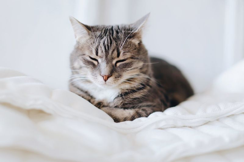 My sleepy friend Room For Text Copyspace Full Frame White Background Softness And Silence Silence Comfort Comfortable Closeup Safety Cat Feline Domestic Cat Domestic Pets Domestic Animals Mammal Animal Themes One Animal Whisker Indoors  Animal Vertebrate Relaxation Bed Resting Furniture No People Home Interior Close-up