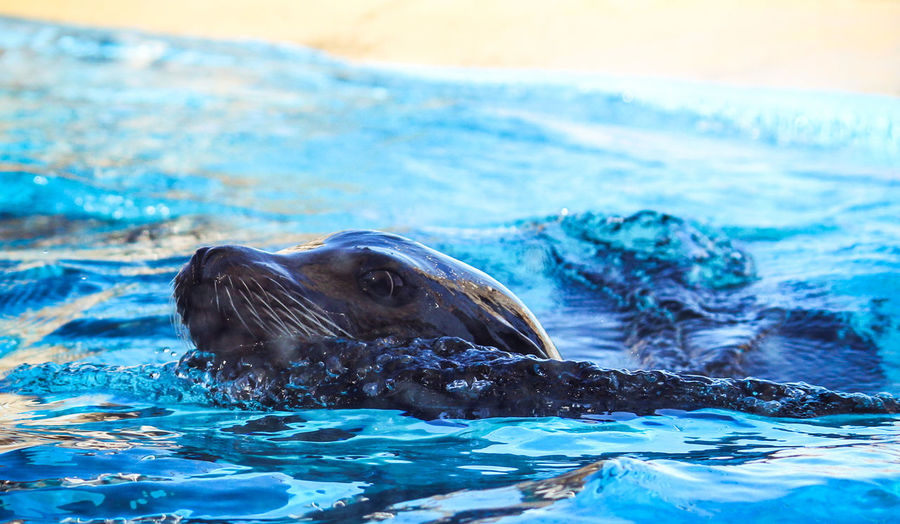 Animal Themes Animal Wildlife Animals In The Wild Aquatic Mammal Close-up Day Mammal Nature No People One Animal Outdoors Portrait Sea Sea Life Sea Lion Seal - Animal Swimming Swimming Pool Water