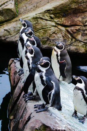 Animal Themes Animal Wildlife Animals In The Wild Bird Close-up Day Humboldt Humboldt Penguin Humboldt Penguins Mammal Nature No People Outdoors Peak Wildlife Park Penguin Penguins Penguins In A Row Perching Rock - Object Water