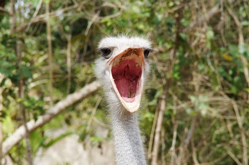 One Animal Animal Themes Animal Head  Animals In The Wild Animal Wildlife No People Focus On Foreground From Where I Stand Domestic Animals Close-up Animals In The Wild Nature Bird Ostrich Beak Day Nature Outdoors Portrait Mammal Strauss Straussenvogel Mexico