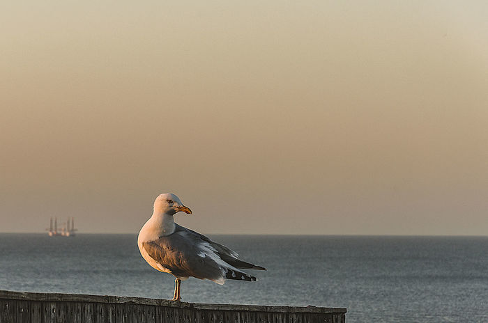 Animal Themes Animal Wildlife Animals In The Wild Beauty In Nature Bird Clear Sky Day Horizon Over Water Nature Oil Rigs In The Distance One Animal Outdoors Sea Seagull Sky Water