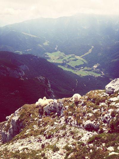 just chillin' at 2150m. Mountainsheep