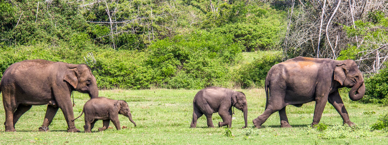 Animal Family Beauty In Nature Elephants Family Field Grass Green Color Herbivorous Landscape Nature Outdoors Wild Family
