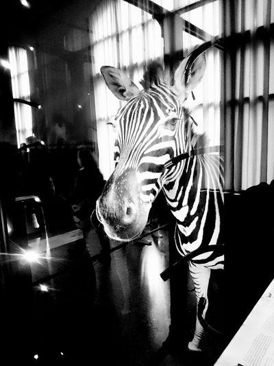 🦄 Zebra Museum Naturkundemuseum Animal Berlin Blackandwhite Black And White Photography Black And White Collection