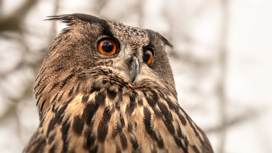Owl Eye Eyes Face Portrait White Nature Closeup Black Animal Bird Close Beak Predator Wildlife Look Feather  Watching Stare Background Orange Yellow Natural Brown Wild Shot BIG Creature Hunter Beautiful Beauty Wise Symbol Old Power Male