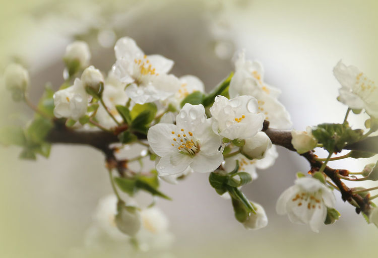 Prunus Cerasifera Flowering Plant Flower Plant Beauty In Nature Vulnerability  Fragility Freshness Growth White Color Close-up Petal Blossom Tree Nature Springtime Inflorescence Branch Flower Head No People Selective Focus Pollen Outdoors Bunch Of Flowers