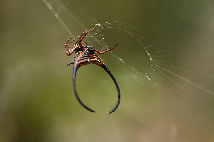 Horned spider on web