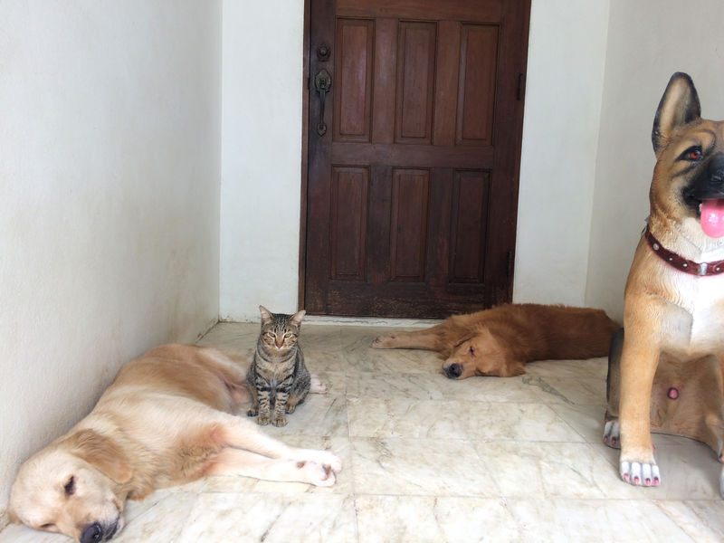 Cat and Dogs Bestfriend Boss Cat Cat And Dog Cat Lovers Day Dog Dog And Cat Dogs Domestic Animals Door Golden Retriever Goldenretriever Lazy Lying Down Pets Pets Corner Resting Sitting Sleeping Three Animals Together Pet Portraits