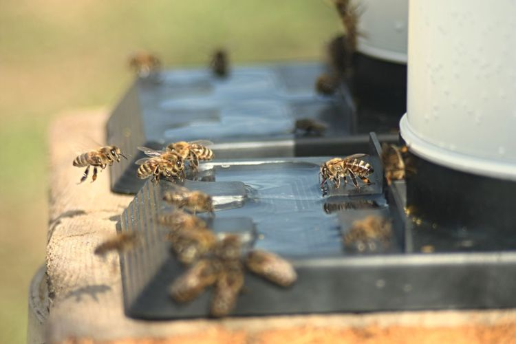 honeybees taking fresh water Selective Focus Close-up Day Nature Animals In The Wild Still Life Bees Honey Bee Honeycomb Beekeeping Beekeeper Beekeepers Water Hives Flying Bees Photography HoneyBee Honeybee Approaching Flower Honeybeestock Honeybees