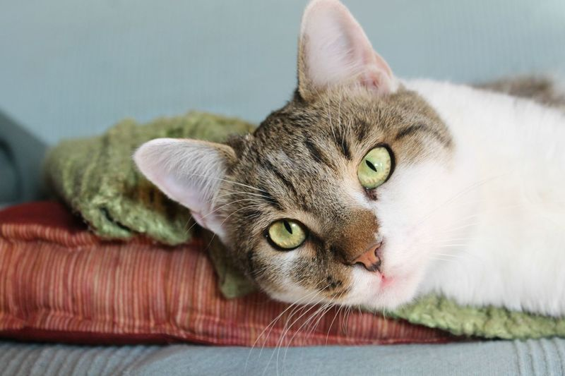 Pet Portraits Animal Themes Close-up Day Domestic Animals Domestic Cat Feline Focus On Foreground Indoors  Looking At Camera Lying Down Mammal No People One Animal Pet Portrait Pets Portrait Relaxation Whisker