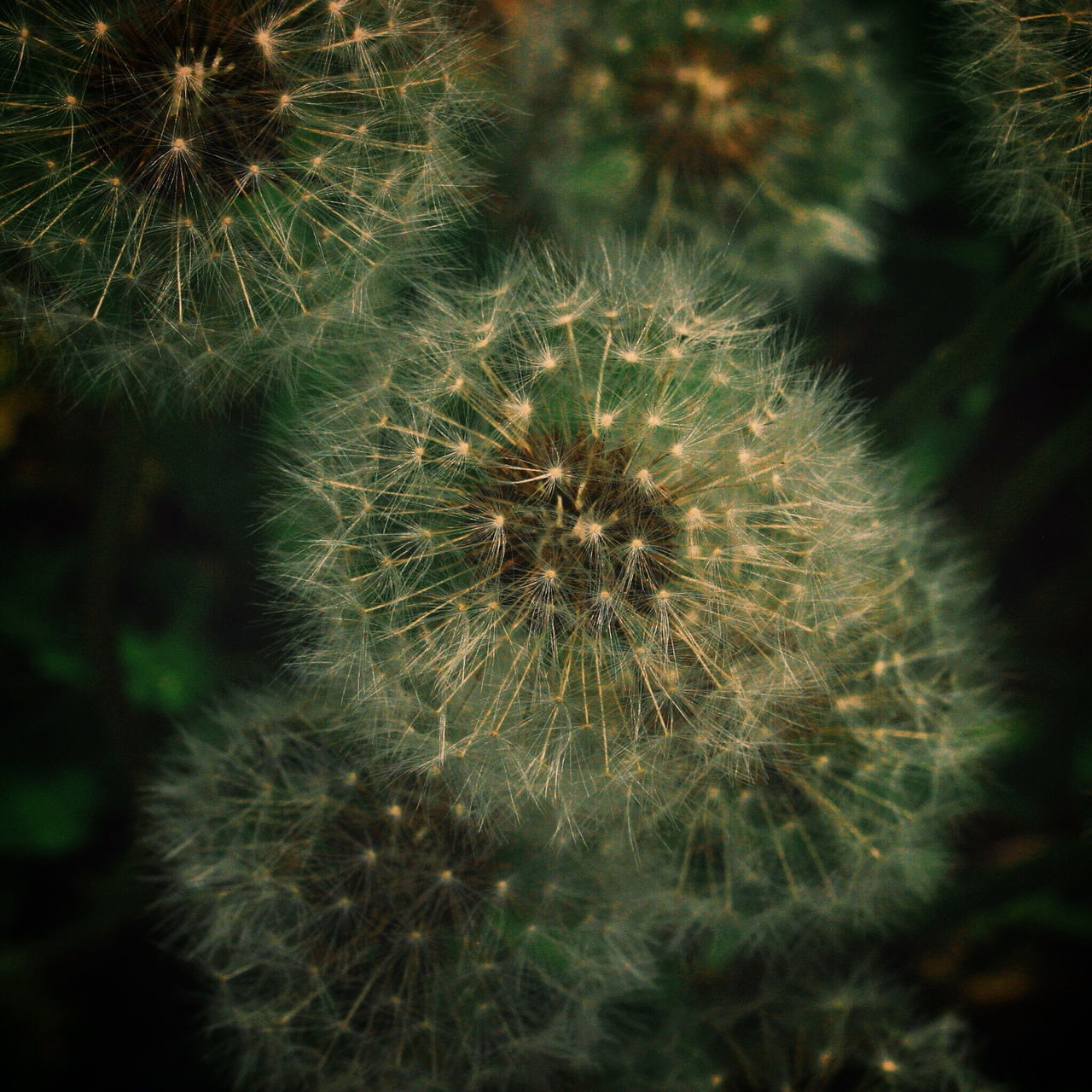 Close-Up View Of Dandelions