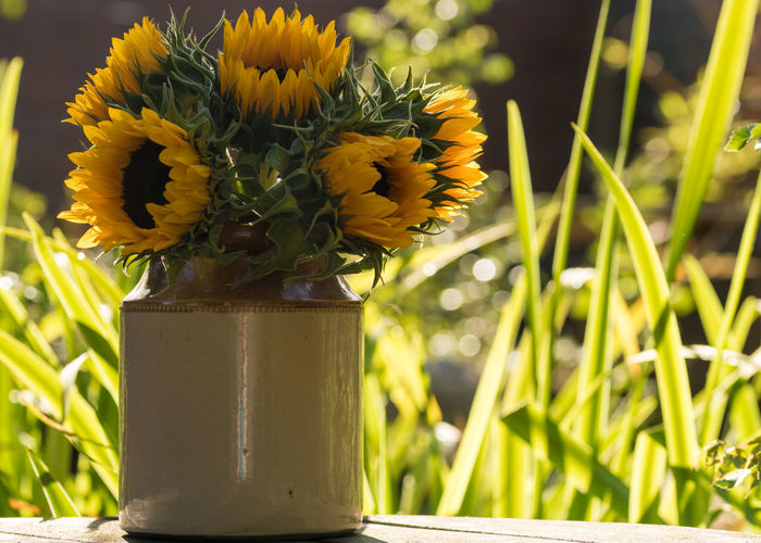 Beauty In Nature Bouquet Close-up Day Earthenware Earthenware Pot Flower Flower Arrangement Flower Head Flowering Plant Focus On Foreground Fragility Freshness Green Color Growth Inflorescence Nature No People Outdoors Petal Plant Sunflower Vase Vulnerability  Yellow