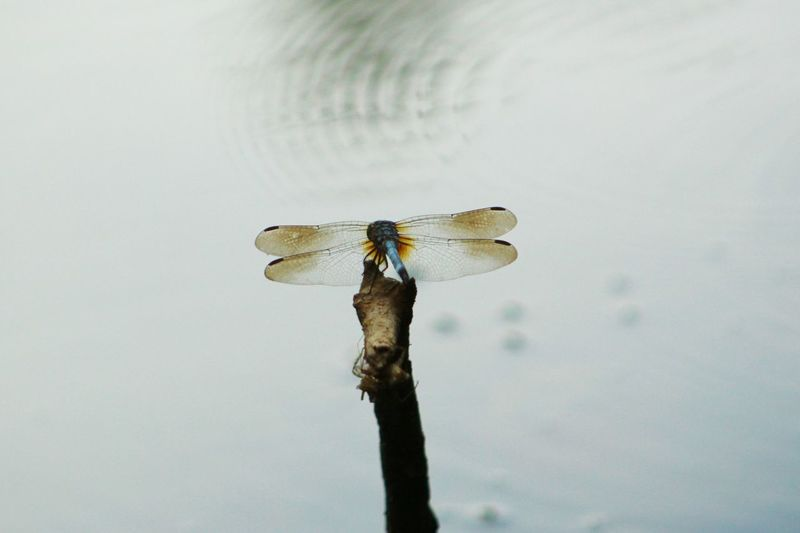 Dragonfly on twig on lake