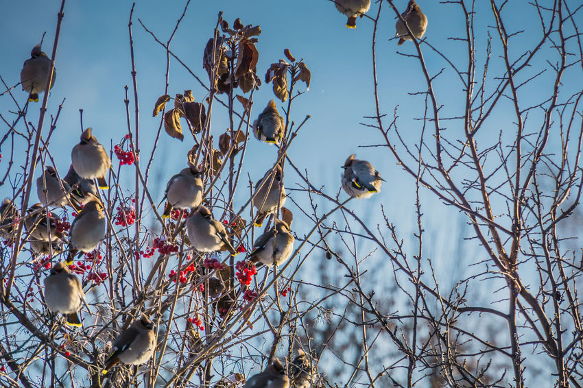 Wintertime Animal Animal Themes Animal Wildlife Animals In The Wild Bare Tree Bird Branch Day Focus On Foreground Low Angle View Nature No People One Animal Outdoors Perching Plant Sky Tree Vertebrate Waxwing Waxwings